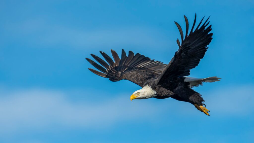 A bald eagle soars in a blue sky