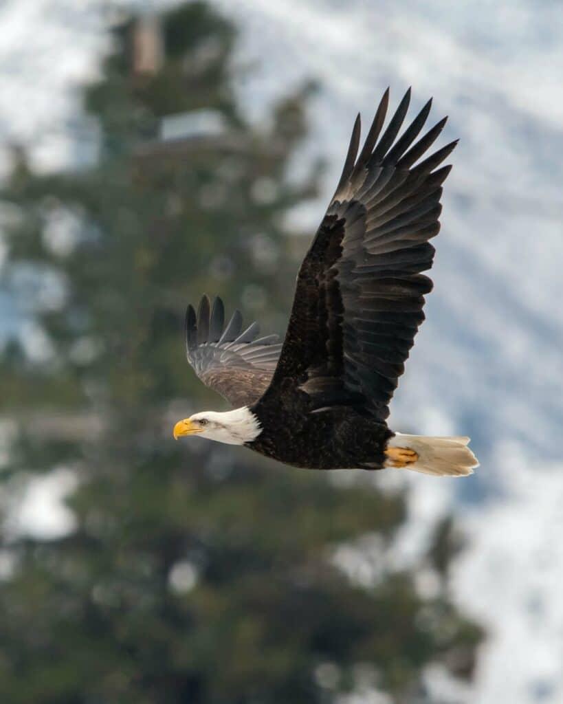 balk eagle flying