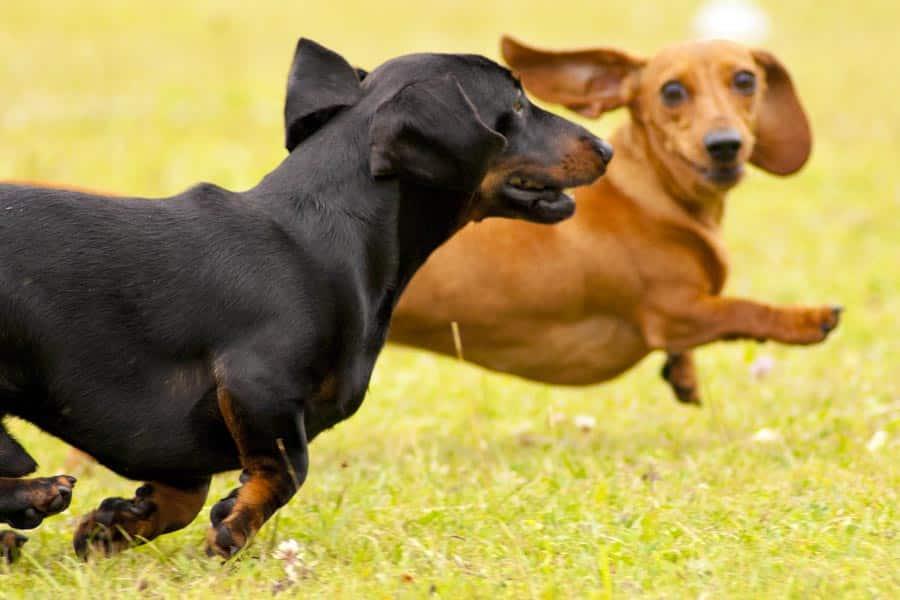 Wiener Dog Races at Galena Oktoberfest